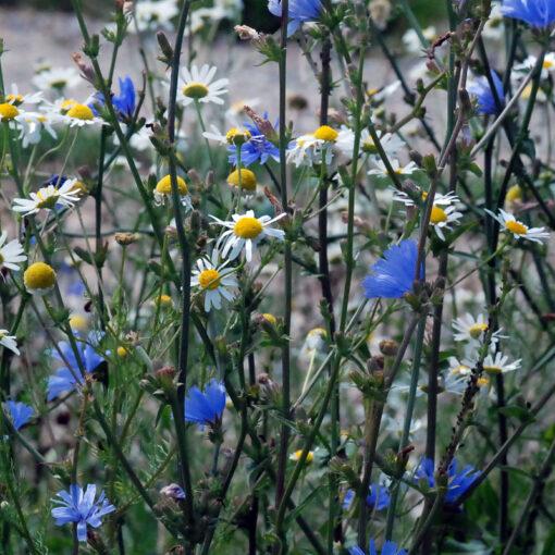 corn_flower_wild_flower-jubilee