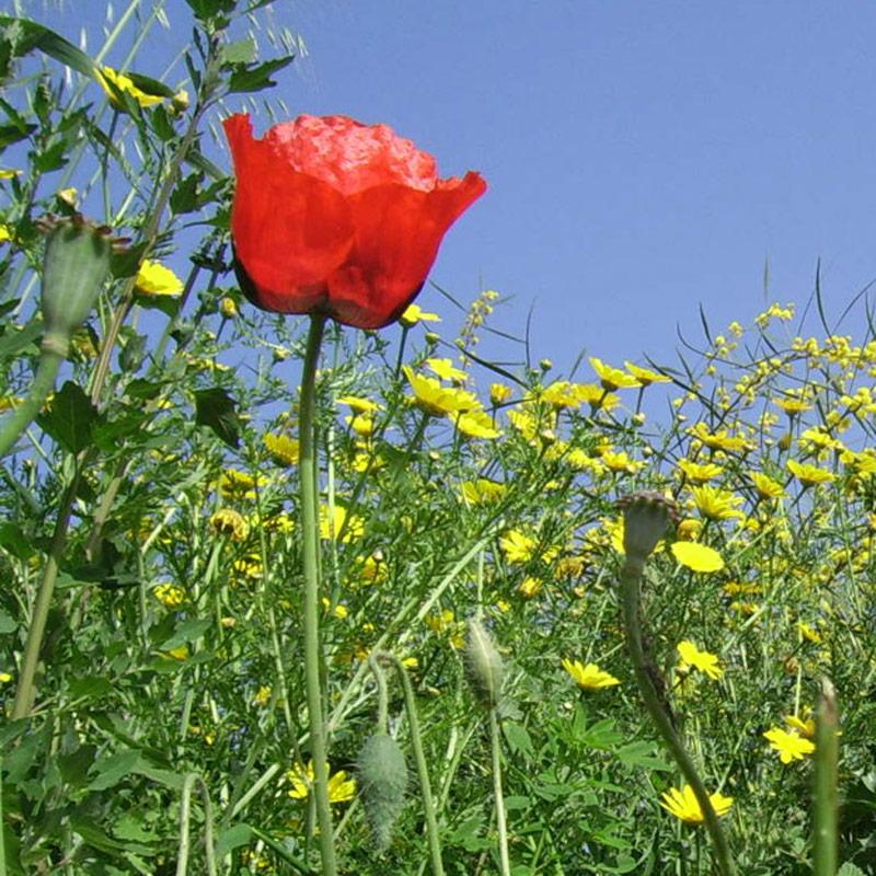 wild_flowers-poppy